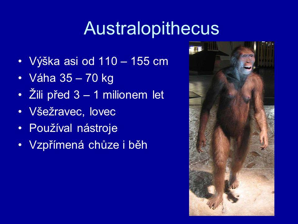 Australopithecus Výška asi od 110 – 155 cm Váha 35 – 70 kg Žili před 3 – 1 milionem let Všežravec, lovec Používal nástroje Vzpřímená chůze i běh