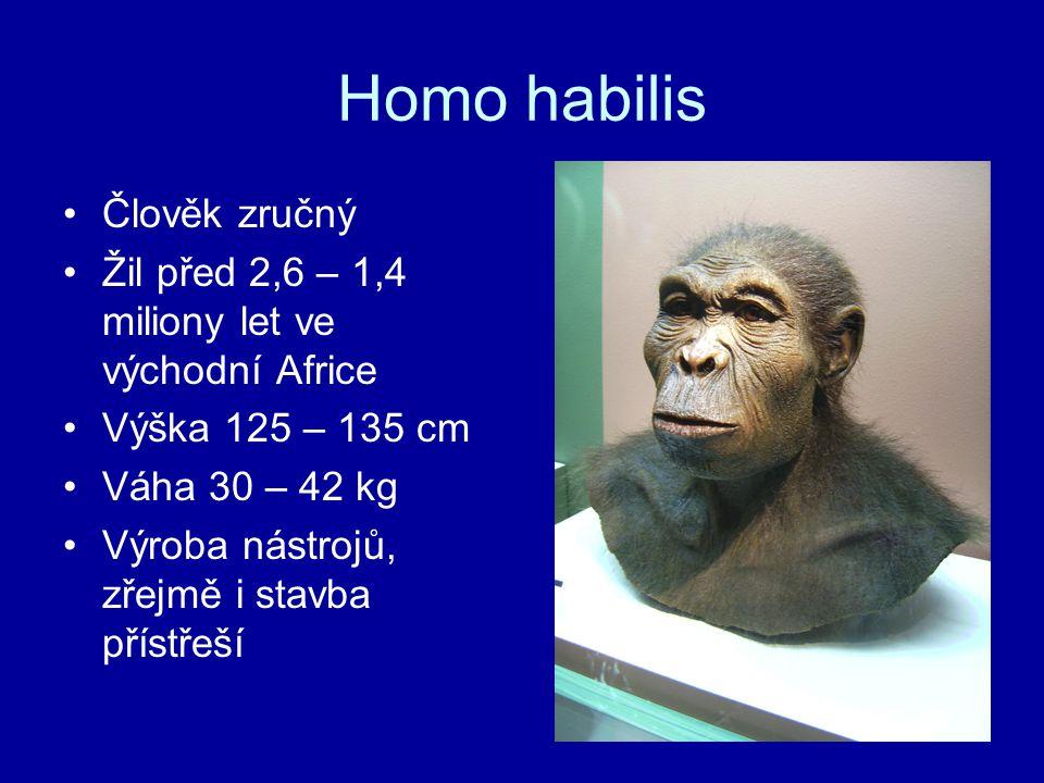 Homo habilis Člověk zručný Žil před 2,6 – 1,4 miliony let ve východní Africe Výška 125 – 135 cm Váha 30 – 42 kg Výroba nástrojů, zřejmě i stavba příst