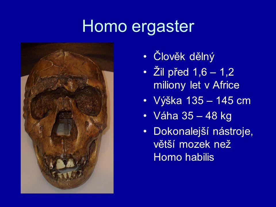 Homo ergaster Člověk dělný Žil před 1,6 – 1,2 miliony let v Africe Výška 135 – 145 cm Váha 35 – 48 kg Dokonalejší nástroje, větší mozek než Homo habil