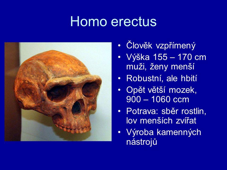 Homo erectus Člověk vzpřímený Výška 155 – 170 cm muži, ženy menší Robustní, ale hbití Opět větší mozek, 900 – 1060 ccm Potrava: sběr rostlin, lov menš