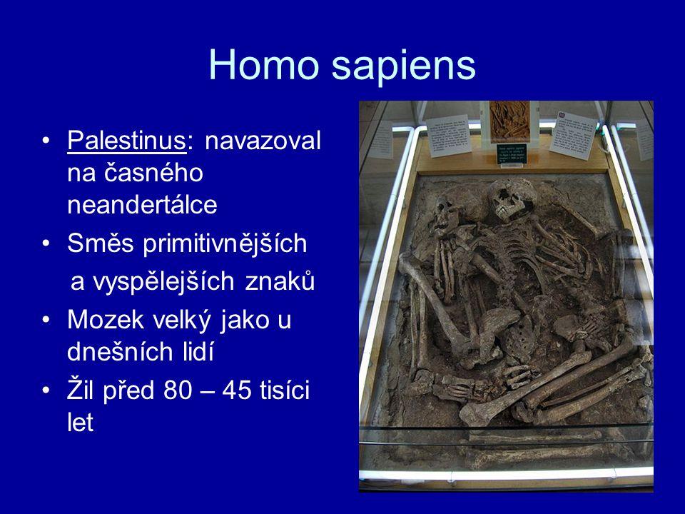 Homo sapiens Palestinus: navazoval na časného neandertálce Směs primitivnějších a vyspělejších znaků Mozek velký jako u dnešních lidí Žil před 80 – 45
