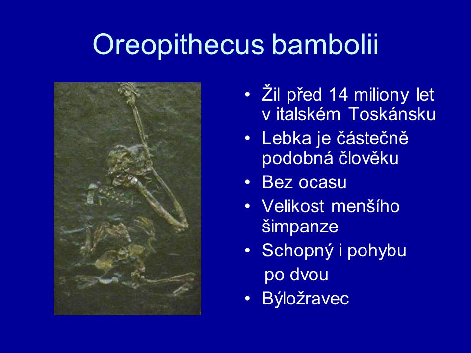Oreopithecus bambolii Žil před 14 miliony let v italském Toskánsku Lebka je částečně podobná člověku Bez ocasu Velikost menšího šimpanze Schopný i poh