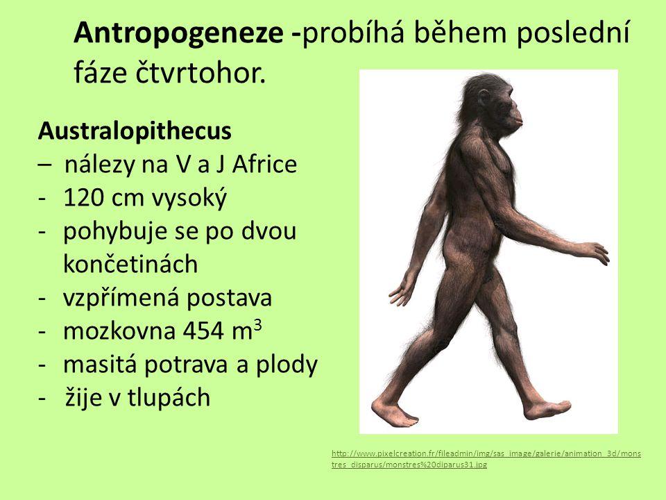 Antropogeneze -probíhá během poslední fáze čtvrtohor. Australopithecus – nálezy na V a J Africe -120 cm vysoký -pohybuje se po dvou končetinách -vzpří