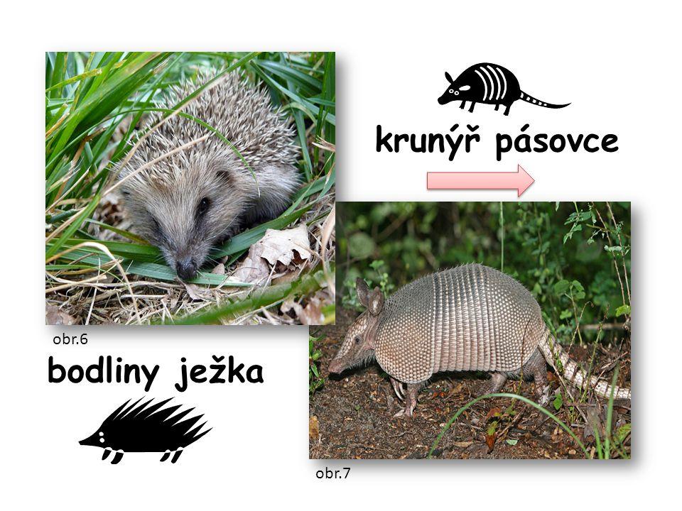 krunýř pásovce bodliny ježka obr.6 obr.7