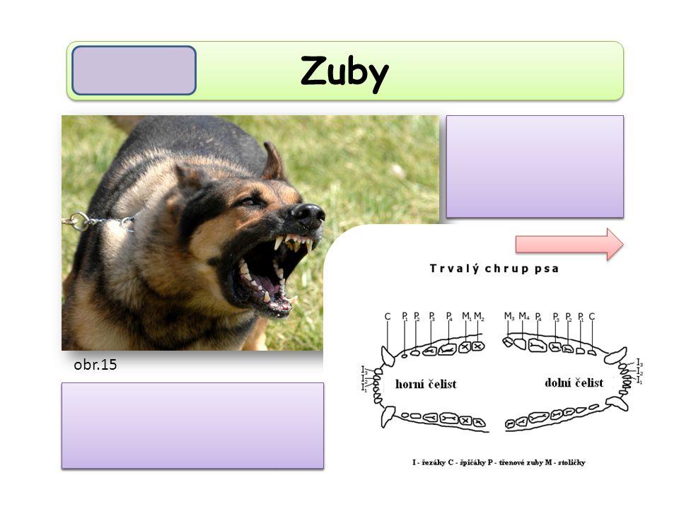 Zuby Zuby jsou rozlišeny na řezáky, špičáky, zuby třenové a stoličky. Chrup je rozlišený. obr.15
