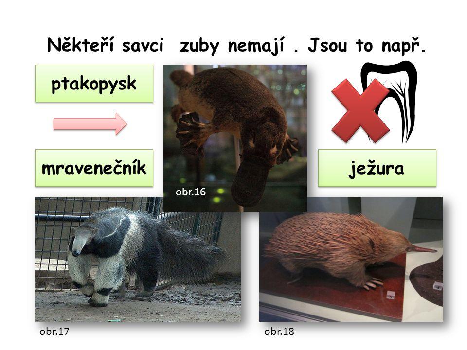 mravenečník ptakopysk ježura Někteří savci zuby nemají. Jsou to např. obr.16 obr.17obr.18