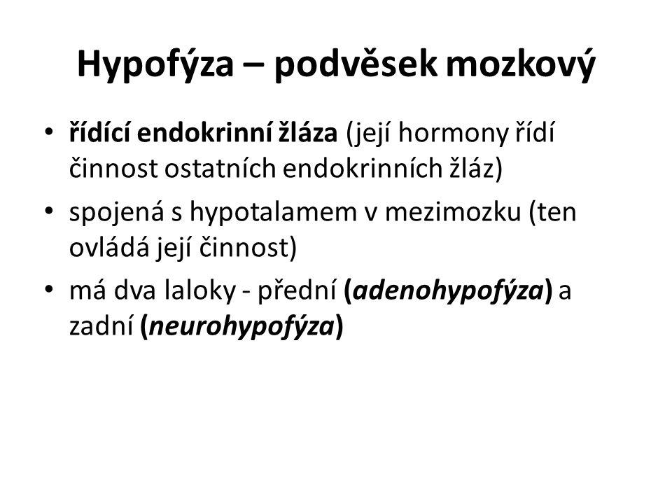 Hypofýza – podvěsek mozkový řídící endokrinní žláza (její hormony řídí činnost ostatních endokrinních žláz) spojená s hypotalamem v mezimozku (ten ovládá její činnost) má dva laloky - přední (adenohypofýza) a zadní (neurohypofýza)
