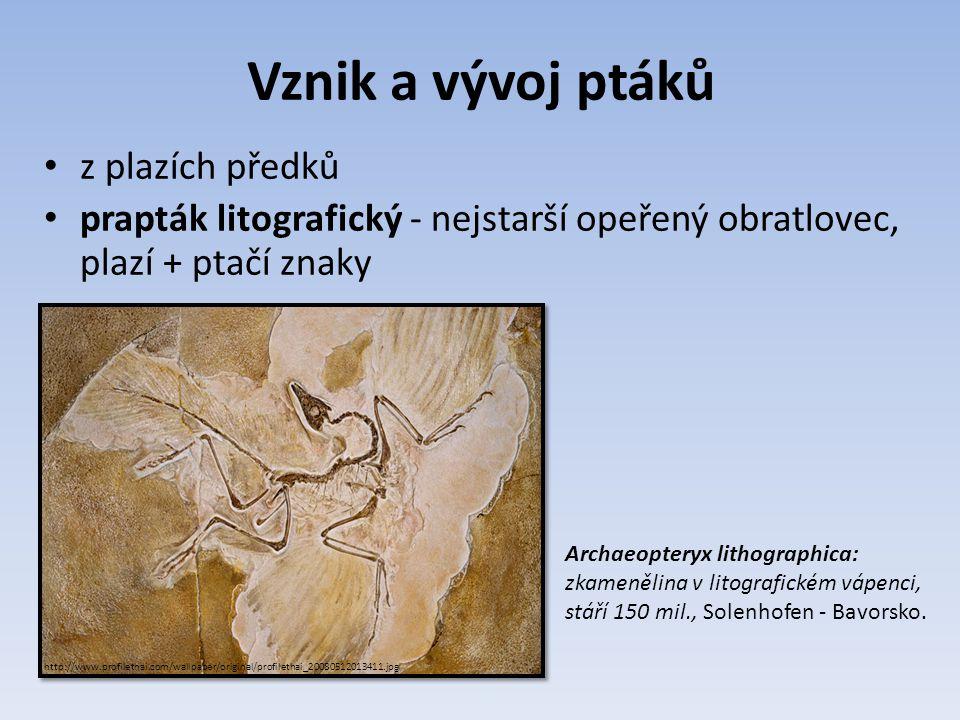 Vznik a vývoj ptáků z plazích předků prapták litografický - nejstarší opeřený obratlovec, plazí + ptačí znaky Archaeopteryx lithographica: zkamenělina