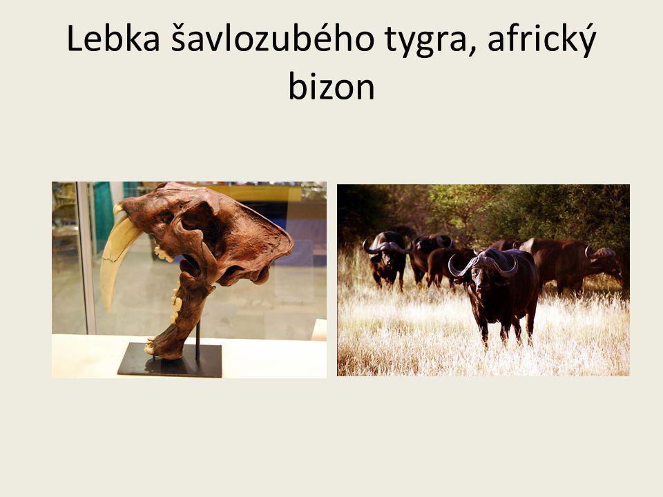 Lebka šavlozubého tygra, africký bizon