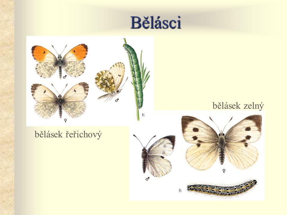 Bělásci bělásek řeřichový bělásek zelný