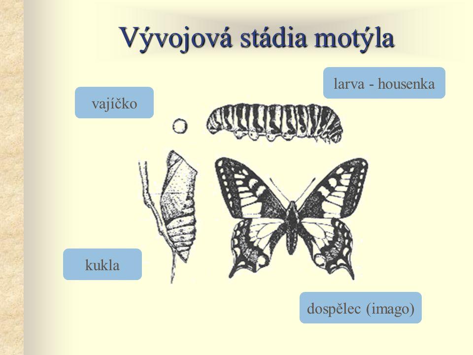 Vývojová stádia motýla vajíčko larva - housenka dospělec (imago) kukla