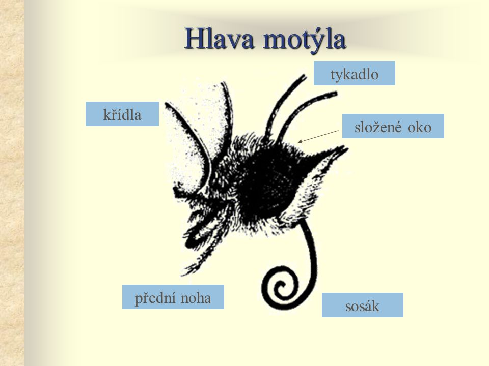 Hlava motýla sosák tykadlo složené oko přední noha křídla