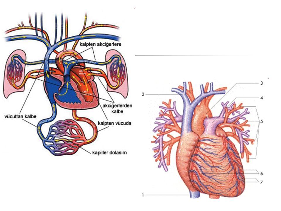 Velký krevní oběh: Z levé komory odstupuje srdečnice (aorta) a všechny další tepny vznikají jejím postupným dělením.