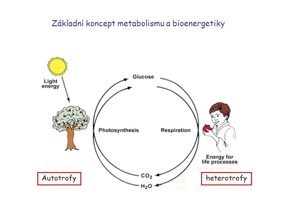 Metabolické děje Zisk energieSynthesa látek Vzájemná koordinace a regulace katabolickéanabolické + děje amfibolické a anaplerotické Od složitějších mo