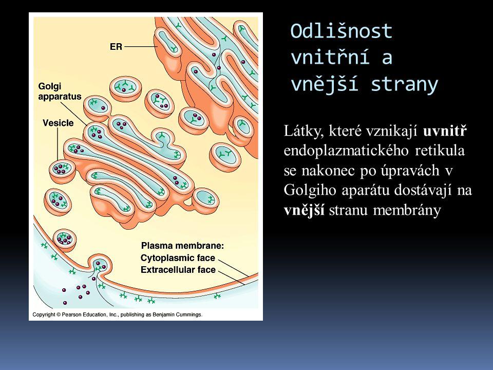 Odlišnost vnitřní a vnější strany Látky, které vznikají uvnitř endoplazmatického retikula se nakonec po úpravách v Golgiho aparátu dostávají na vnější