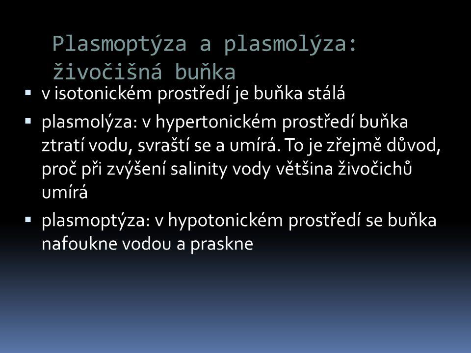 Plasmoptýza a plasmolýza: živočišná buňka  v isotonickém prostředí je buňka stálá  plasmolýza: v hypertonickém prostředí buňka ztratí vodu, svraští