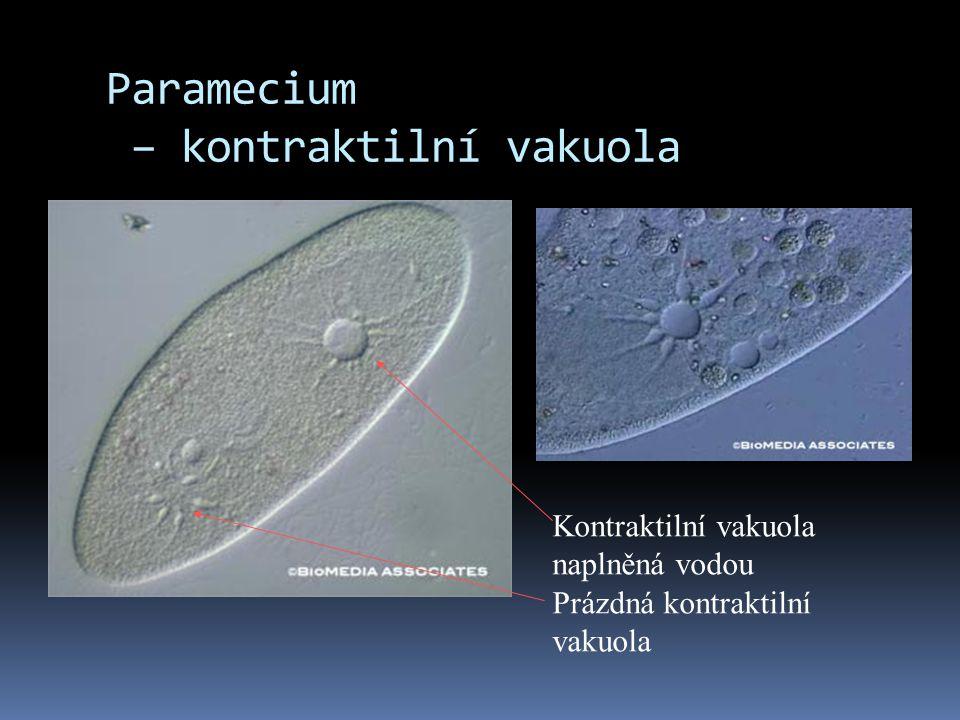 Paramecium – kontraktilní vakuola Kontraktilní vakuola naplněná vodou Prázdná kontraktilní vakuola