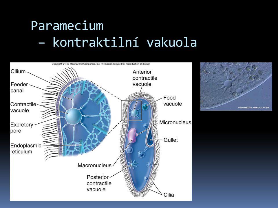 Paramecium – kontraktilní vakuola