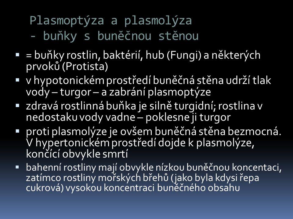 Plasmoptýza a plasmolýza - buňky s buněčnou stěnou  = buňky rostlin, baktérií, hub (Fungi) a některých prvoků (Protista)  v hypotonickém prostředí b