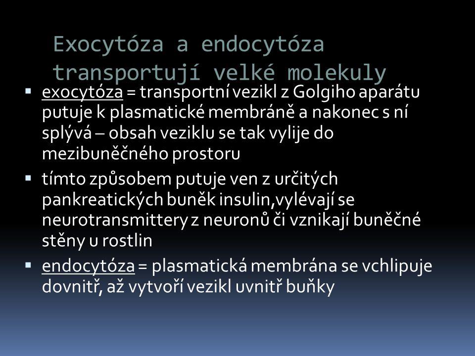 Exocytóza a endocytóza transportují velké molekuly  exocytóza = transportní vezikl z Golgiho aparátu putuje k plasmatické membráně a nakonec s ní spl