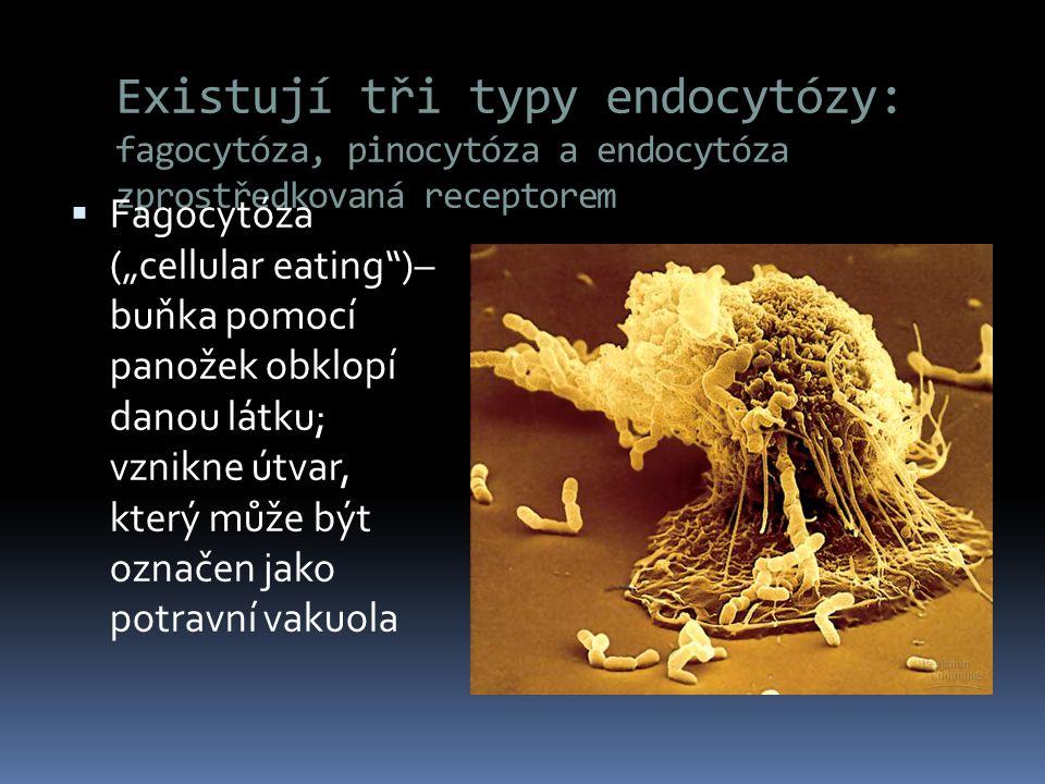 """Existují tři typy endocytózy: fagocytóza, pinocytóza a endocytóza zprostředkovaná receptorem  Fagocytóza (""""cellular eating"""")– buňka pomocí panožek ob"""