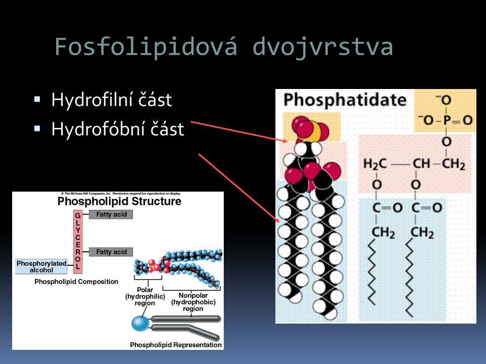 Fosfolipidová dvojvrstva  Hydrofilní část  Hydrofóbní část