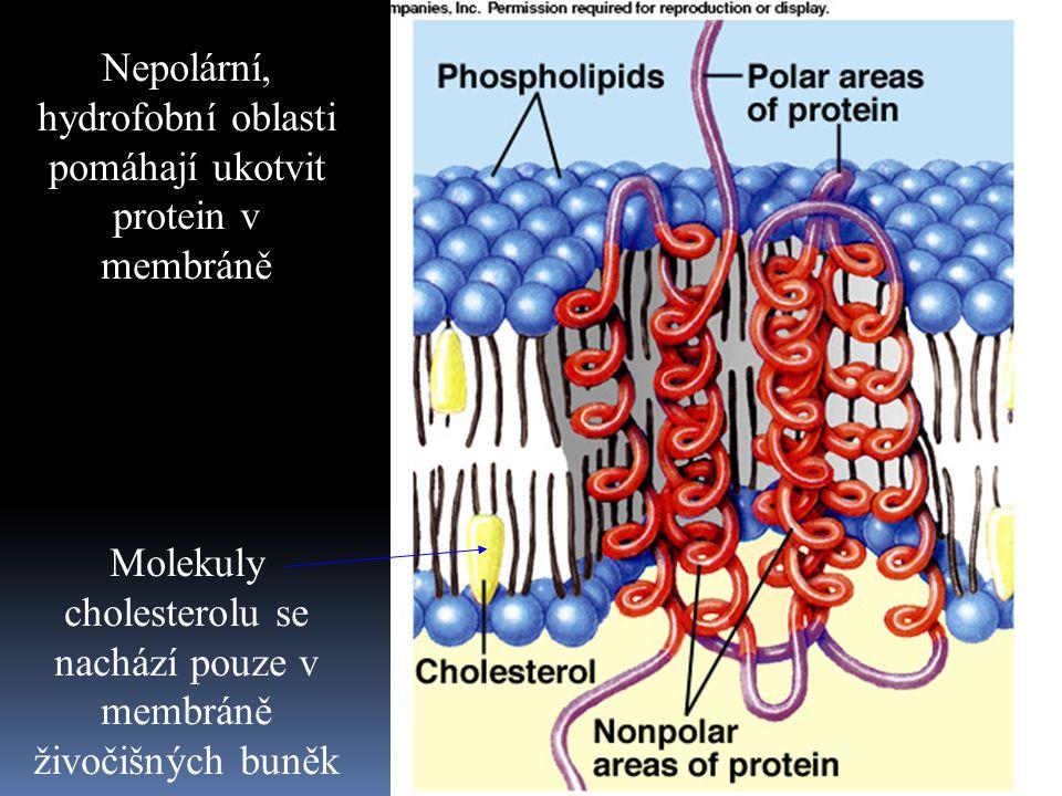 Nepolární, hydrofobní oblasti pomáhají ukotvit protein v membráně Molekuly cholesterolu se nachází pouze v membráně živočišných buněk
