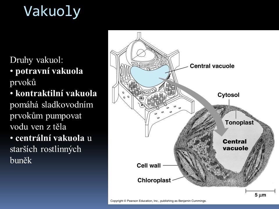 Vakuoly Druhy vakuol: potravní vakuola prvoků kontraktilní vakuola pomáhá sladkovodním prvokům pumpovat vodu ven z těla centrální vakuola u starších r