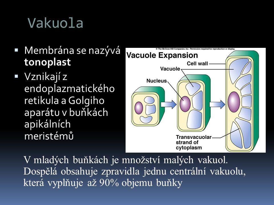 Vakuola  Membrána se nazývá tonoplast  Vznikají z endoplazmatického retikula a Golgiho aparátu v buňkách apikálních meristémů V mladých buňkách je m