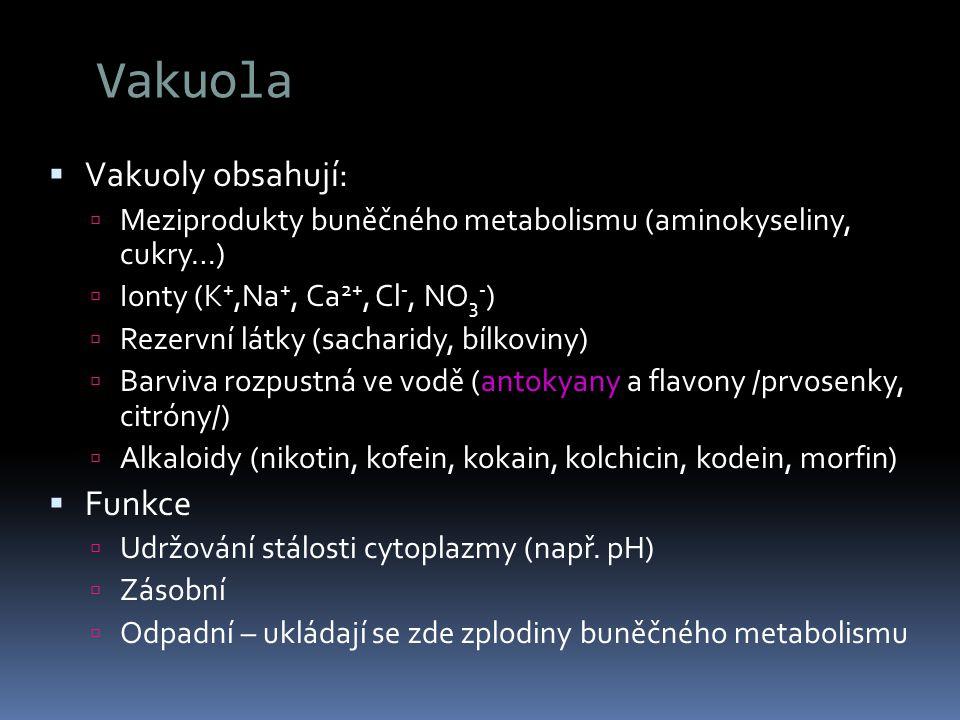 Vakuola  Vakuoly obsahují:  Meziprodukty buněčného metabolismu (aminokyseliny, cukry…)  Ionty (K +,Na +, Ca 2+, Cl -, NO 3 - )  Rezervní látky (sa