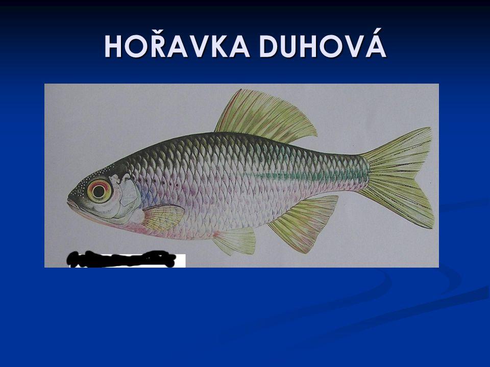 HOŘAVKA DUHOVÁ