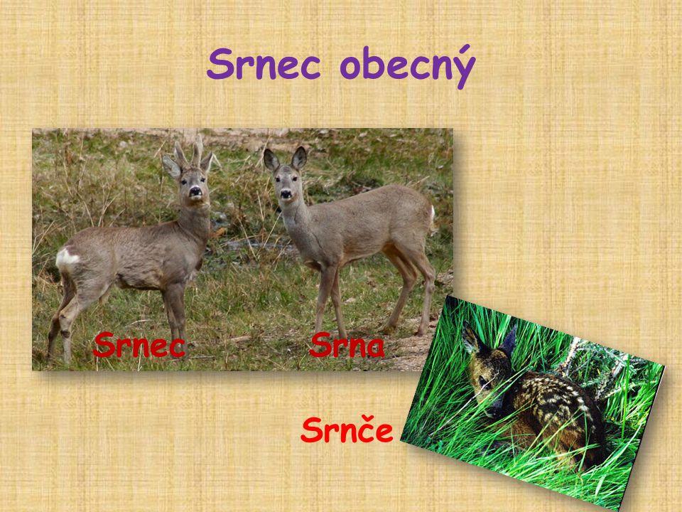 Srnec obecný  savec  samci mají krátké parůžky, která na zimu shazují  žije v lese  živí se bylinami a lesními plody