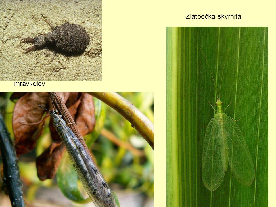 mravkolev Zlatoočka skvrnitá