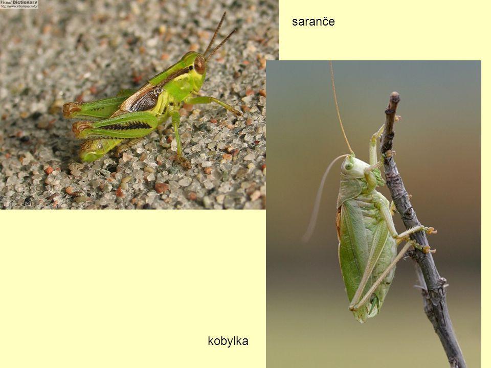 saranče kobylka