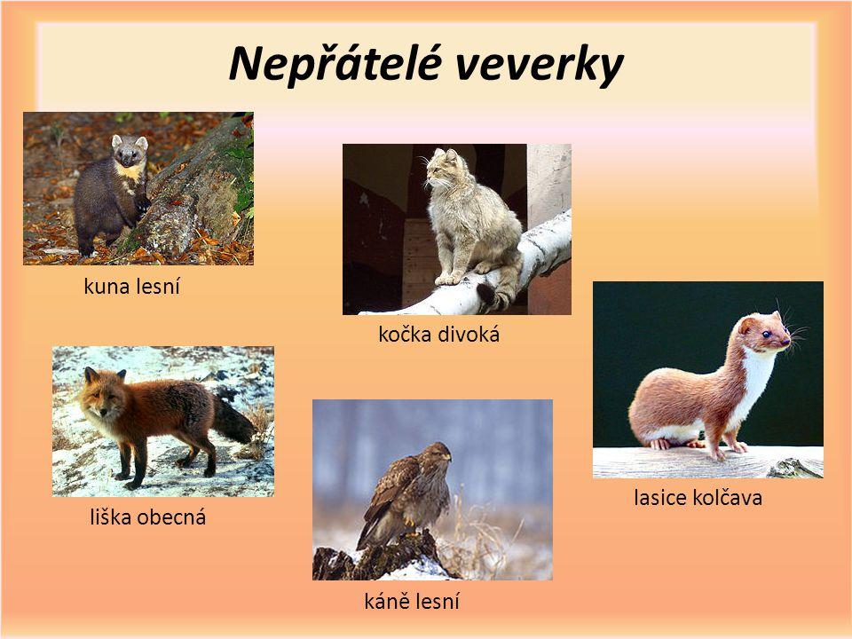 Nepřátelé veverky kuna lesní kočka divoká liška obecná káně lesní lasice kolčava