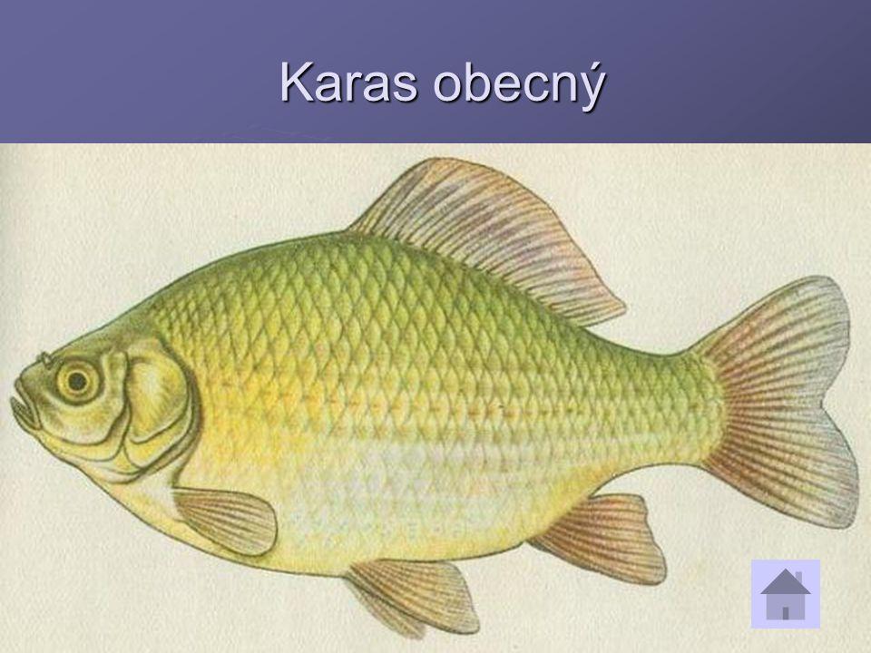 Karas obecný Karas obecný