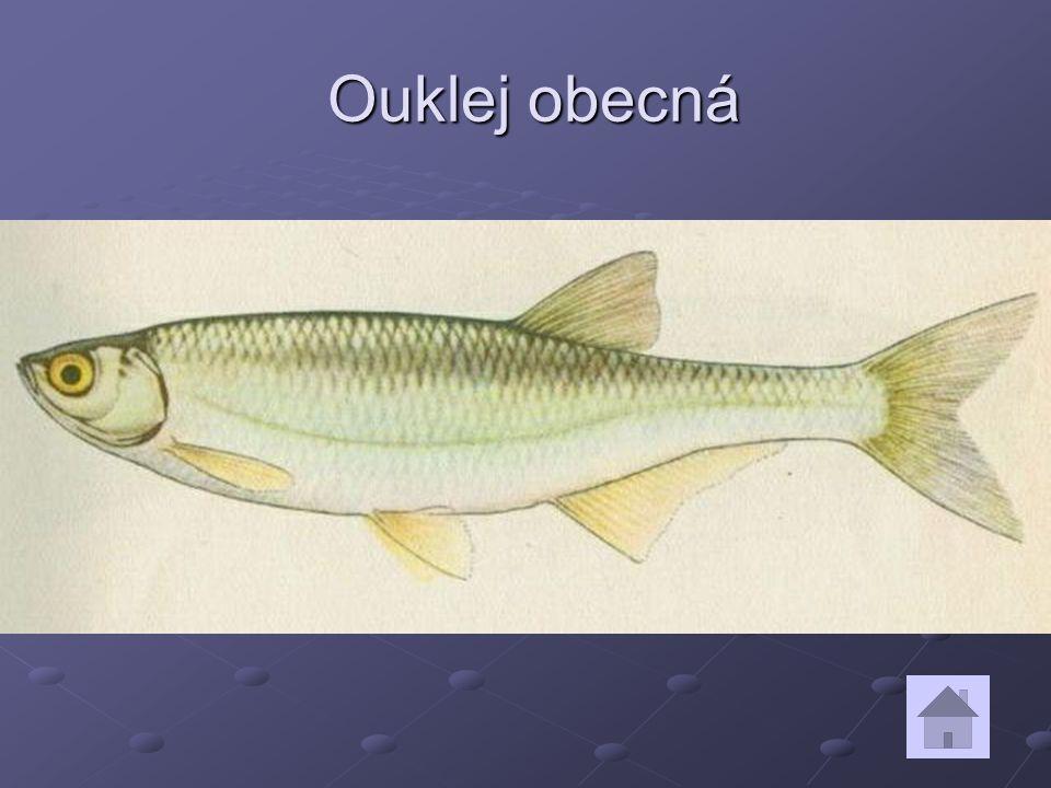 Ouklej obecná Ouklej obecná