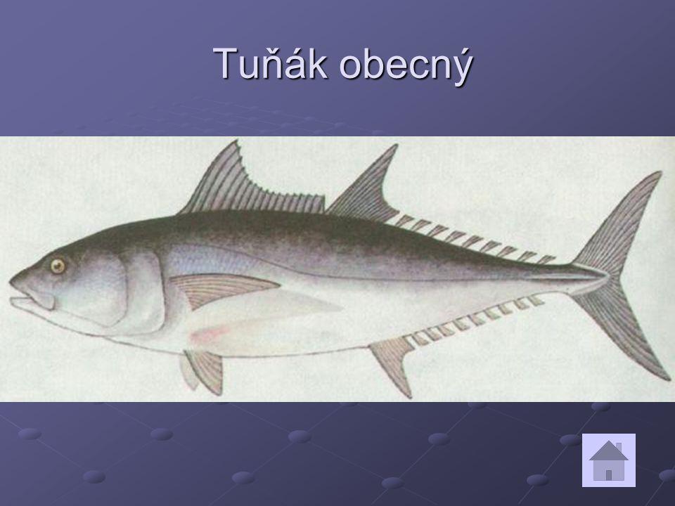 Tuňák obecný Tuňák obecný