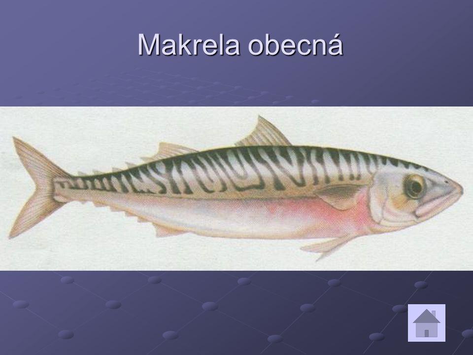 Makrela obecná Makrela obecná