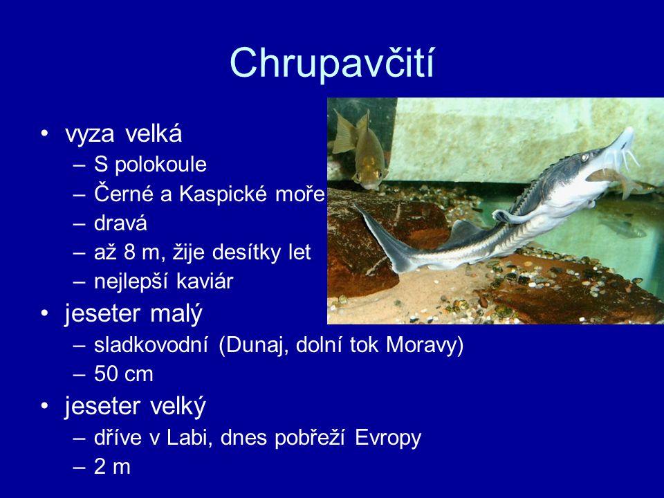 Chrupavčití vyza velká –S polokoule –Černé a Kaspické moře –dravá –až 8 m, žije desítky let –nejlepší kaviár jeseter malý –sladkovodní (Dunaj, dolní tok Moravy) –50 cm jeseter velký –dříve v Labi, dnes pobřeží Evropy –2 m