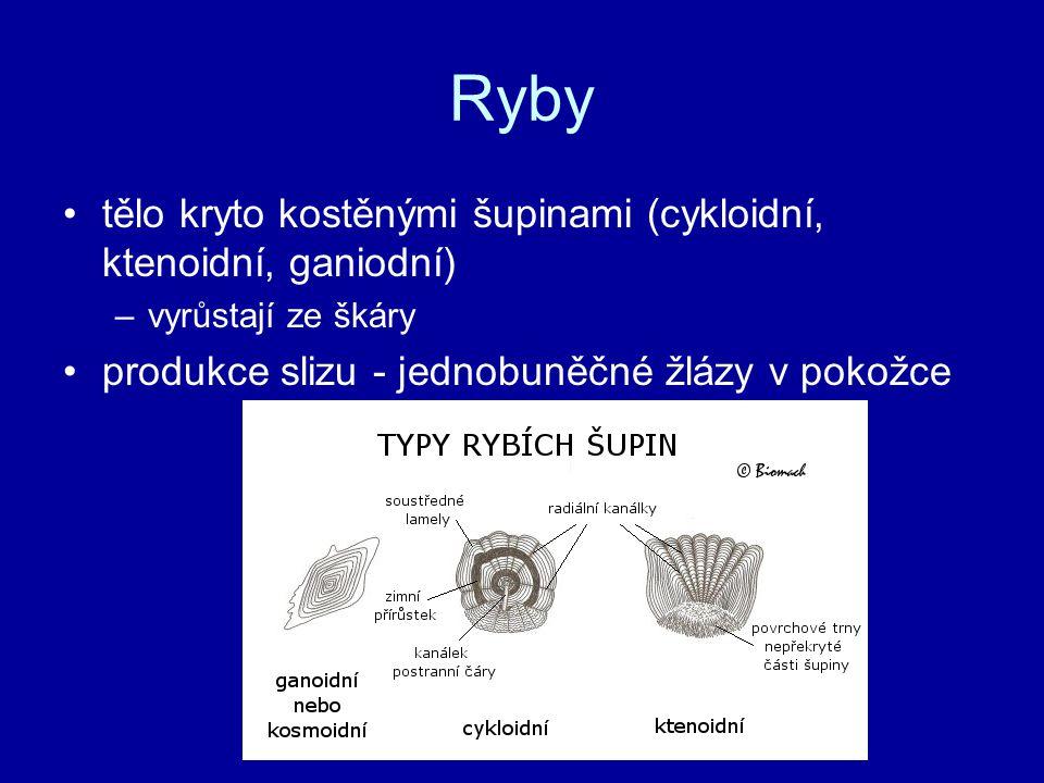 Ryby tělo kryto kostěnými šupinami (cykloidní, ktenoidní, ganiodní) –vyrůstají ze škáry produkce slizu - jednobuněčné žlázy v pokožce