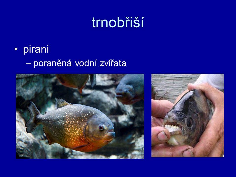 trnobřiší pirani –poraněná vodní zvířata