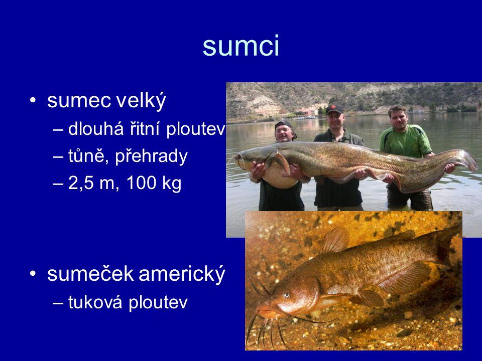 sumci sumec velký –dlouhá řitní ploutev –tůně, přehrady –2,5 m, 100 kg sumeček americký –tuková ploutev