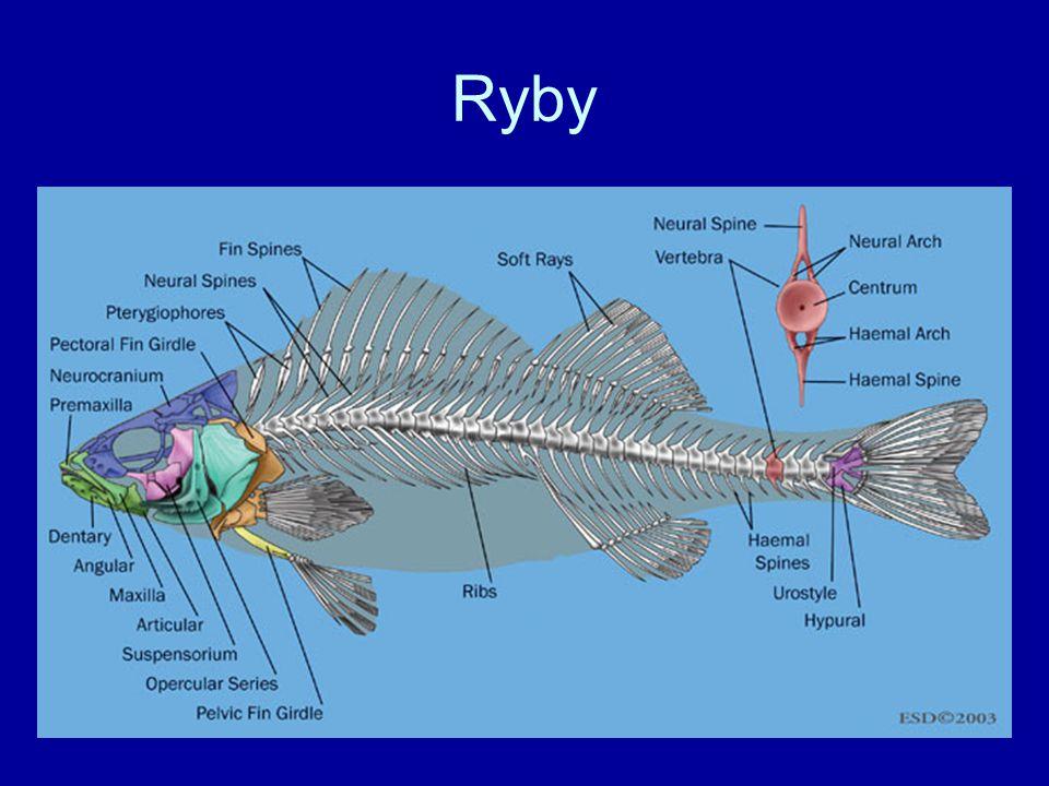 Ryby studenokrevné –extrémy:-2°C, 52°C –většina hyne při 30°C –letní nebo zimní spánek sladkovodní (stojaté x tekoucí, pásma: pstruhové, lipanové, parmové, cejnové) mořské (ryby pelagické, litorální, bentické) brakické tažné (katadromní, anadromní, potravní)