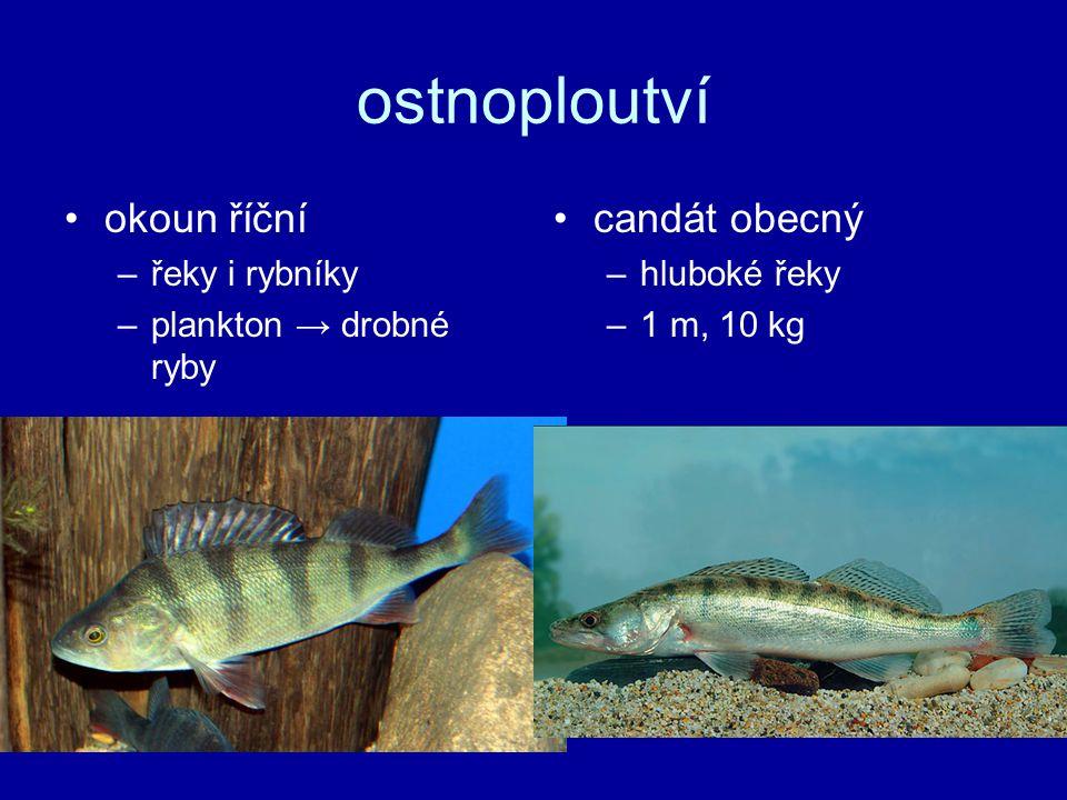 ostnoploutví okoun říční –řeky i rybníky –plankton → drobné ryby candát obecný –hluboké řeky –1 m, 10 kg