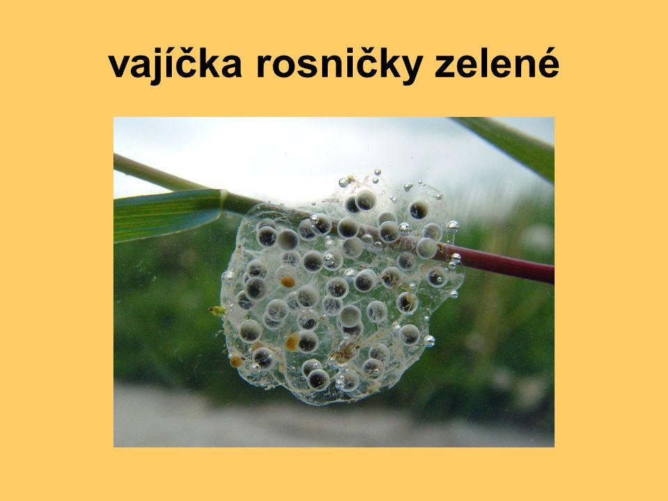 vajíčka rosničky zelené