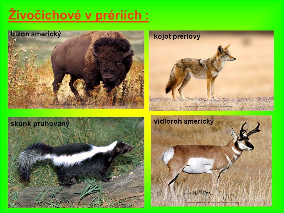 Živočichové v prériích : bizon americký http://cs.petclub.eu/graphics/articles/135/images/full/buffalofield.jpg kojot prériový http://i.pbase.com/o6/6