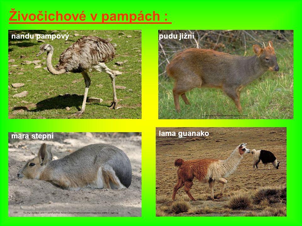 Živočichové v pampách : nandu pampový http://www.biolib.cz/IMG/GAL/28086.jpg pudu jižní mara stepní http://img4.rajce.idnes.cz/d0411/2/2487/2487585_f0