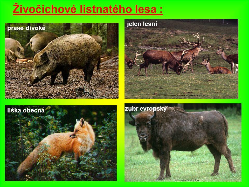 Živočichové listnatého lesa : jelen lesní http://www.mezistromy.cz/userdata/fotografie/savci/jelen_lesni_2.jpg prase divoké http://www.jarduvsvet.cz/b