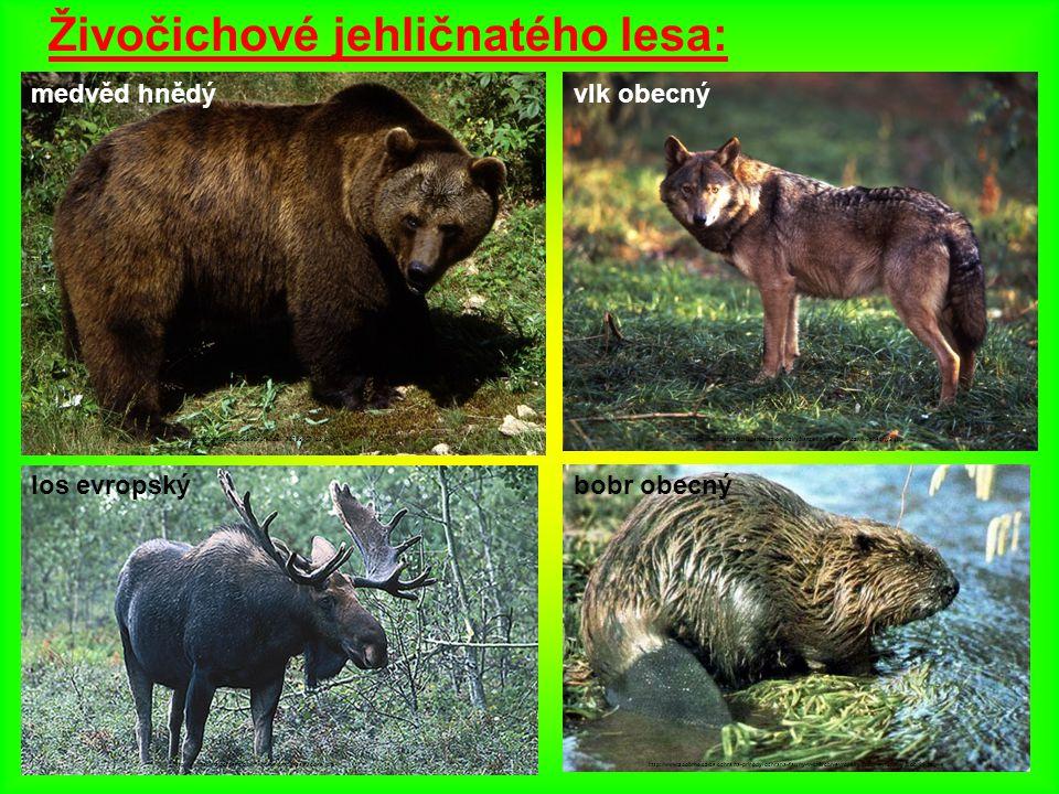 Živočichové jehličnatého lesa: medvěd hnědý http://nd04.jxs.cz/793/509/9b73fe5ce1_72789157_o2.jpg los evropský http://www.animalcorner.co.uk/wildlife/